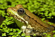 Frogs Art - Green Frog in Pond by Griffin Harris