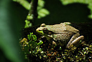 Maryland Photos - Green Frog Rana Clamitans by Rebecca Sherman