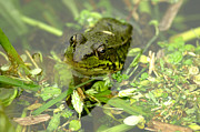 Dweller Prints - Green Frog Print by Sharon  Talson