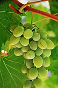 White Grape Posters - Green grape and vine leaves Poster by Sami Sarkis