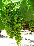 Grapes Green Posters - Green grapes Poster by Kim Pascu