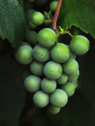 Wine Grapes Metal Prints - Green Grapes Metal Print by Marion McCristall