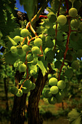 Tom Bell Framed Prints - Green Grapes Framed Print by Tom Bell