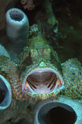 Full-length Portrait Prints - Green Grouper With Open Mouth, North Print by Mathieu Meur