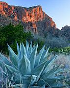 Texas. Photo Posters - Green Gulch Agave Poster by Eric Foltz