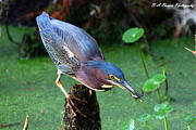 Polk County Florida Photos - Green Heron nabs a fish by Barbara Bowen