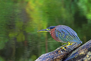 Chester Framed Prints - Green Heron- St Lucia Framed Print by Chester Williams