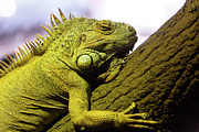 Iguana Metal Prints - Green Iguana Of Nature Park Metal Print by Victor Estevez