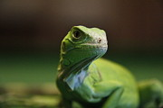 Iguana Metal Prints - Green Iguana Metal Print by Photographed by  Hannes Steyn