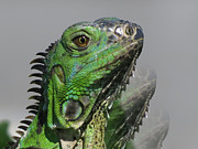 Iguana Metal Prints - Green Iguana Triple Metal Print by Vijay Sharon Govender
