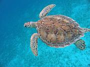 Sea Turtle Photos - Green In Blue by Kimberly Mohlenhoff