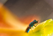Wasps Prints - Green Irridescent Cuckoo Wasp 2 Print by Douglas Barnett