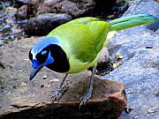 Bird Photography Posters - Green Jay Poster by Evelyn Patrick