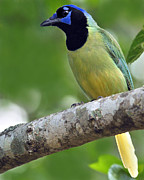 Neotropics Posters - Green Jay Poster by Tony Beck