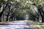 Live Oaks Prints - Green Lane Print by Carol Groenen