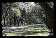 Moss Green Digital Art Prints - Green Lane with Live Oaks - Black Framing Print by Carol Groenen