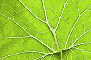 Intricacy Framed Prints - Green Leaf And Veins Framed Print by Alex Bramwell