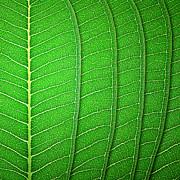 Green Leaf Texture Print by Natthawut Punyosaeng
