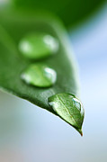 Dewdrops Photo Posters - Green leaf with water drops Poster by Elena Elisseeva