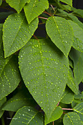 Stock Images Prints - Green Leaves and Water Drops 2 Print by James Bo Insogna