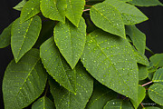 Stock Images Prints - Green Leaves and Water Drops Print by James Bo Insogna
