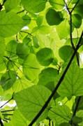 Green Leaves Print by Hideaki Sakurai