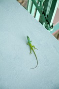 West Indies Prints - Green lizard climbing a blue wall Print by Sami Sarkis