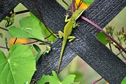 Terri Albertson - Green Lizard on Fence