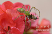 Capturing Framed Prints - Green Lynx Spider Framed Print by Raul Gonzalez Perez
