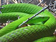 Mambas Prints - Green Mamba Print by Rebecca Shupp