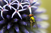 Insect On Flower Art - Green Metallic Fly on Globe Thistle by Sharon  Talson