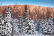 Vermont Wilderness Art - Green Mountain Winter Sunrise by Susan Cole Kelly