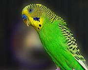 Parakeet Photos - Green Parakeet Portrait by Jai Johnson