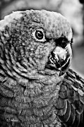 Parrot Metal Prints - Green Parrot - BW Metal Print by Christopher Holmes