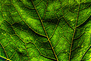 Backlit Prints - Green Pumpkin Leaf Print by Matt Dobson