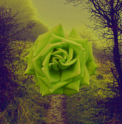 Nigel Chaloner Framed Prints - Green Rose Framed Print by Nigel Chaloner