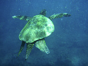 Holiday Photo Prints - Green Sea Turtle 1 Print by Bob Christopher