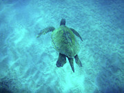 Holiday Photo Prints - Green Sea Turtle 2 Print by Bob Christopher