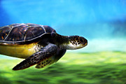 Snorkeling Prints - Green Sea Turtle 2 Print by Marilyn Hunt