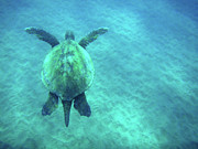 Holiday Photo Prints - Green Sea Turtle 3 Print by Bob Christopher