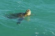 Holiday Photo Prints - Green Sea Turtle 4 Print by Bob Christopher