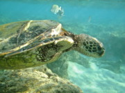 Hawaii Sea Turtle Art - Green Sea Turtle 4 by Michael Peychich