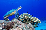 Hawaiian Green Sea Turtle Photos - Green Sea Turtle by Andrew G Wood and Photo Researchers