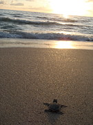 Green Sea Turtle Photos - Green Sea Turtle at Sunrise by Mary Wozny