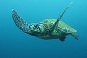 Cheloniidae Prints - Green Sea Turtle Chelonia Mydas Print by Pete Oxford