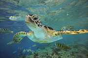 Looking At Camera Posters - Green Sea Turtle Chelonia Mydas Poster by Tim Fitzharris