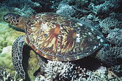 Underwater Conservation Posters - Green Sea Turtle Poster by Georgette Douwma