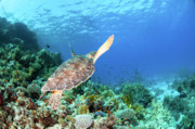 Long-lived Photos - Green sea turtle by Hagai Nativ