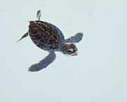 Green Turtle Posters - Green Sea Turtle Hatchling Poster by Trina Loucks