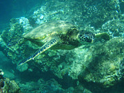 Green Sea Turtle Photos - Green Sea Turtle Hawaii by Bob Christopher